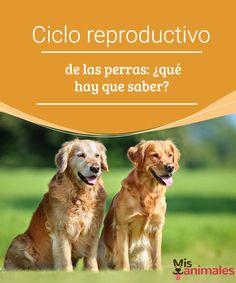 Ciclo reproductivo de las perras: ¿qué hay que saber? Vamos a conocer el ciclo reproductivo de las perras y conocer todos los detalles necesarios para poder cuidar a las caninas como se merecen. #salud #ciclo #reproducción #perras