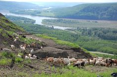 If you head down to the Peace Valley View Site (Fort St John, BC) over the next few weeks, you may find some fury friends that have been brought to help out with the noxious weed on the banks of the Peace River Fur Trade, Valley View, Banks, Weed, Goats, Around The Worlds, Peace, River, Friends
