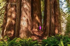 Cathedral Tree~ Redwood National Forest