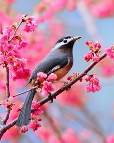White-eared Sibia photographed by Sushyue Liao