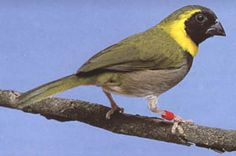 Cuban Finch (Tiaris canora)   The Cuban Finch can grow to be approximately 9 cm.   This bird tends to nest in shrubs
