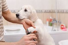 It's quite simple to groom your dog at home, but it's important to have some basic knowledge of dog grooming practices. Dog Grooming Tips, Dog Grooming Business, Dog Toenails, Trimming Dog Nails, Ongles Forts, Dog Nail Clippers, Trim Nails, Pets
