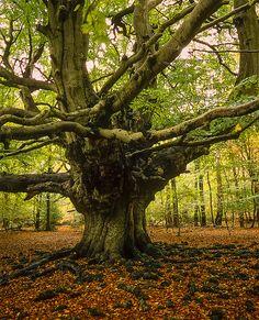 Harry Potter Tree (Goblet of Fire film) - Giant Pollarded Beech Tree in Autumn - Ashridge Forest, Hertfordshire, UK