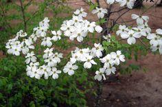 Dogwood Blooms March 2012 Georgia