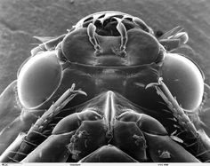 Scanning electron microscope image of a whirligig beetle. Image is an underside view of the head area and front legs. Scanning Electron Microscope Images, Pictures Of Insects, Microscopic Images, Gods Creation, Nature Photos, Beetle, Legs, Universe, Science