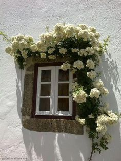 white walls, window and climbing rose