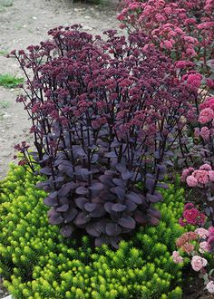 Sedum Blue Pearl ('Sunsparkler') (PBR) - The colour of the fleshy foliage is reason enough to grow this drought-tolerant sun-lover, as it is a dusky shade of purple that intensifies as the summer progresses, providing a beautiful contrast to silvers and pinks. This plant is also valuable though for its long flowering season, producing small clusters of bright pink blooms, which are irrisistable to butterflies, bees and other pollinating insects.