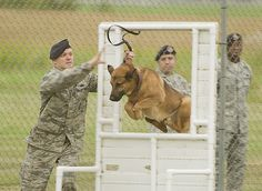 Staff Sgt. Rocky Thompson, 319th Security Forces Squadron military working dog handler, takes his military working dog, Aron, through a window obstacle during the K-9 competition held at the 5th Security Forces Squadron dog kennels on Aug. 14, 2013. The 2013 North Dakota Peace Officer Association K-9 Police Trials showcased...