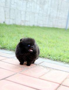 Adorable Pandora ~ Precious Micro Teacup Solid Black Micro Teacup Pomeranian AVAILABLE!