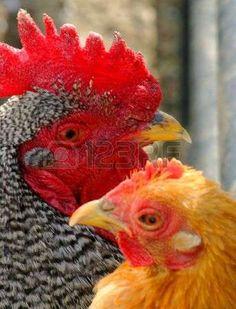 Barred rock gallo e gioco gallina, polli