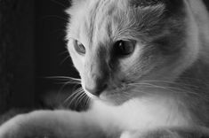 Cats And Kittens. A cat's conduct can be a very complex thing to grasp. They are fractious as well as fussy and also demanding. Cats don't simply have to have their actual physical requirements to be satisfied but also their emotional requirements. Cat Care Tips, Pet Care, Birman Cat, Cat Hacks, Outdoor Cats, Cat Behavior, Pretty Cats, Cat Life, Cat Breeds