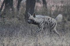 Wild Animals in Ranthambore Striped Hyenas