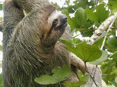 Viaje a Costa Rica - Perezoso by Tarannà Expedicions, via Flickr