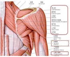 Man Anatomy, Scapula