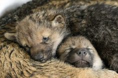 Two one-month old baby wolves cuddled up as they took a nap at a zoo in Switzerland. Check out many more zoo babies from around the world.