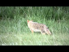 Coyote - Crown Hill Park - YouTube