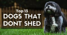 Top 13 Dogs That Don't Shed from Dog Helpful Blog. I guess that You will very…