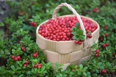 lingonberries-Absolutely Delicious!! Nordic Diet, Berry Picking, Fruit Photography, Red Cottage, Warm Food, Cranberries, Fruit Trees, Four Seasons, My Favorite Food