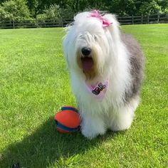 Chien Bobtail, Pretty Animals, Cute Animals, Old English Sheepdog Puppy, Black Labrador Retriever, Kinds Of Dogs, Doberman Pinscher, Best Dogs, Cute Dogs