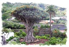 The Dragon Tree, Tenerife Tenerife, Dragon Tree, Western Coast, Unique Trees, Centenario, Island Design, Nature Tree, Canary Islands, Island Beach
