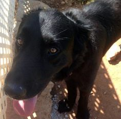 Spartacus: Active retriever mix wants a family with the energy to play with him