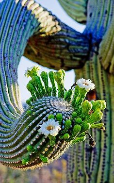 Cactus flower.. #cactus #flower .. Visit us on Facebook: https://www.facebook.com/groups/imagesfromallovertheworld