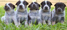 6 of my 10 cute Blue Heeler puppies ^^