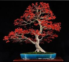Japanese Maple Bonsai Tree Growing Kit by anytimeflower