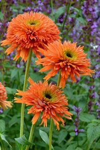 Echinacea 'Colorburst Orange' (Terra) a brand new perennial coneflower for 2013