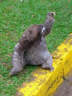 Sloth in Costa Rica. Waving at cars. Animals And Pets, Baby Animals, Funny Animals, Cute Animals, Cute Baby Sloths, Cute Sloth, Sid The Sloth, Two Toed Sloth, Pet Monkey
