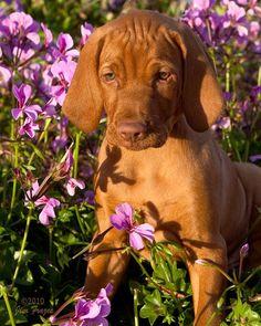 ❤Vizsla puppy