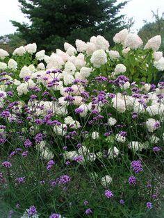 Verbena Bonariensis Limelight Hydrangea, Hydrangea Paniculata, Verbena, Flowers Perennials, Planting Flowers, Border Plants, Colorful Garden, Garden Styles, Garden Planning