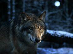 Wolf - Bing Bilder