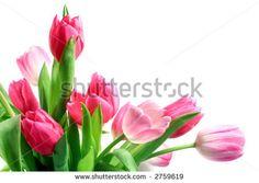 white tulips - Google Search