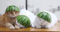 3 sleepy cats wearing watermelon hats!
