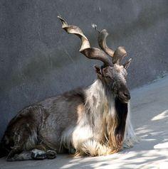 Le Markhor Le markhor est un bovidé caprin. Ses impressionnantes cornes spiralées peuvent mesurer jusqu'à 1,5m. Habitant l'ouest de l'Himalaya, cet animal est aujourd'hui en voie de disparition.