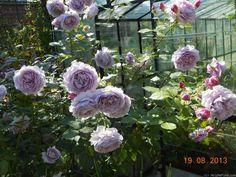 'Novalis ' Rose Photo