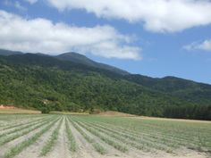 Newly planted sugar can fields at the base of the rugged ranges near Cairns, Queensland.