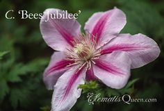 The American Clematis Society