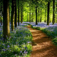 Bluebell Path, Ashley Woods, Great Britain.