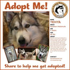 RETURNED TO RESCUE:  Tehya is a TAMR alumni adopted in 2006 and was returned due to medical issues in the family. If any one is looking for a very laid back senior, this is your girl.  Shes great on walks, crate and potty trained.  Tehya is alpha so...