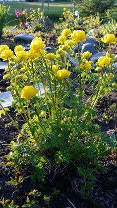 Trollius  / Globe flower