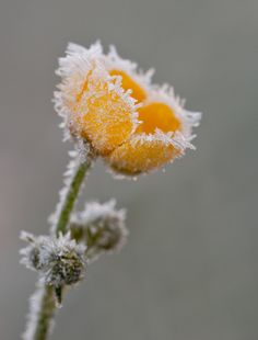 """""""Frosted buttercup"""" by Christoph Odo"""