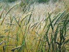 Spelt - anybody know yield spelt flour per acre? Spelt Flour, Down On The Farm, Acre, Herbs, Plants, Mai, Blog, Herb, Blogging