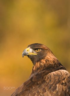 Golden Eagle_0000008993800_19 by Carl Mckie / 500px