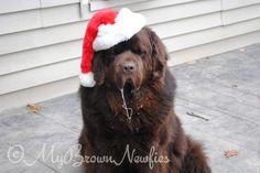 Newfoundland dog via mybrownnewfies blog