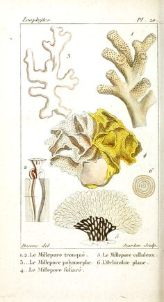 Animal - Sea shell - Coral, French