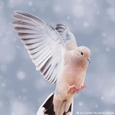 Mourning Dove Date:  1996 Location:  Bent NM #12