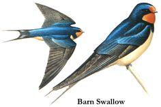 Barn Swallow (Hirundo rustica), Costa Rica