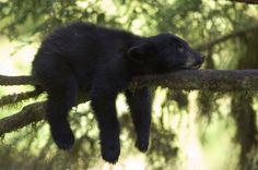 bear cub in the Alexander Archipelago, AK